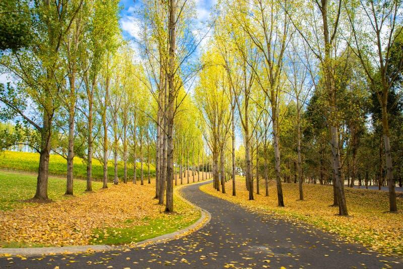 Englische Bäume und Boden umfasst mit Herbstlaub, Yarra ValleyAustralia stockfotografie