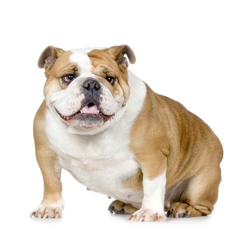 Englische Bulldogge lizenzfreies stockfoto