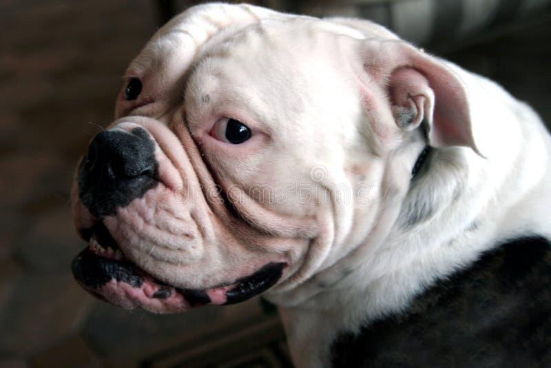 Englische Bulldogge lizenzfreie stockfotografie