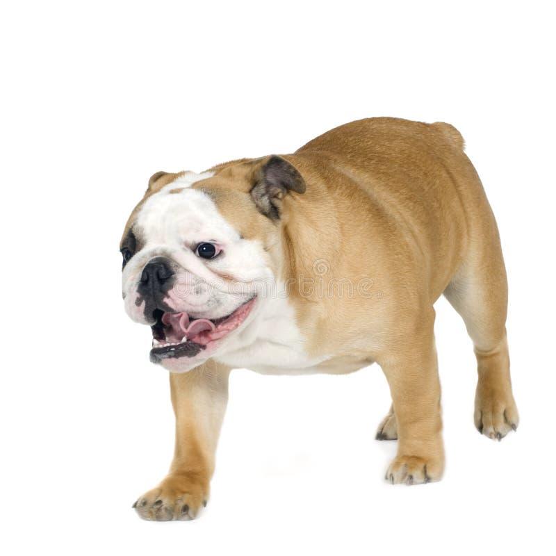 Englische Bulldogge (6 Monate) lizenzfreie stockfotos