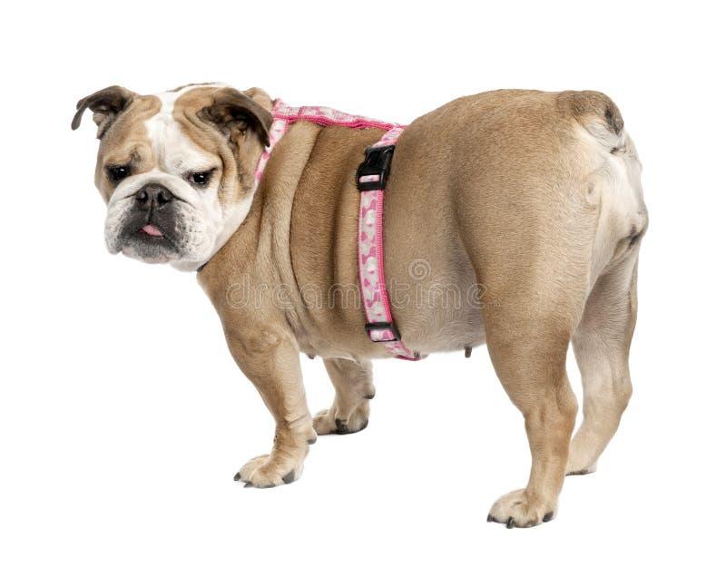 Download Englische Bulldogge (7 Jahre Alt) Stockbild - Bild von getrennt, hinter: 9087525
