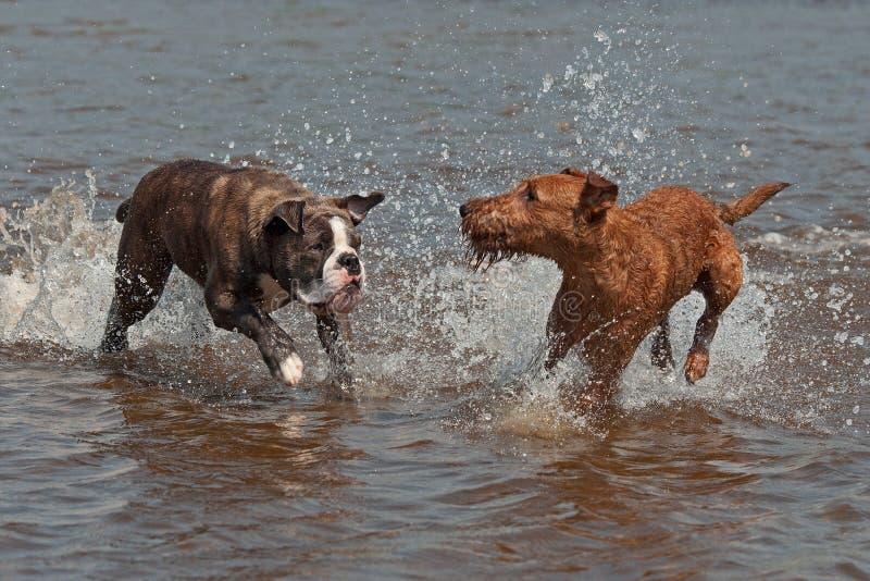 Englische Bulldogge Olde und das Spielen irischen Terriers stockfotografie
