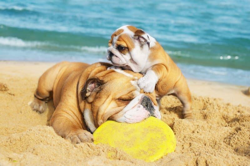 Englische Bulldoggen, die auf dem Strand spielen stockfotos