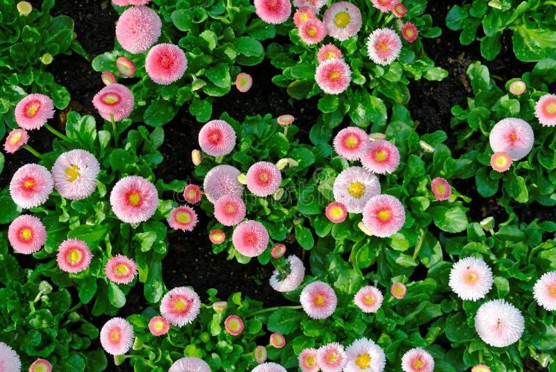 Englische Gänseblümchen Pomponette-Mischung in Blumenbeet topview lizenzfreie stockfotos