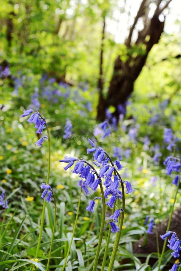 Englische Glockenblumen auf einer Bank von wilden Blumen lizenzfreie stockfotos