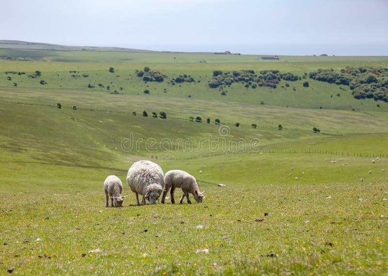 Englische ländliche Landschaft mit dem Weiden lassen von Schafen stockfotos