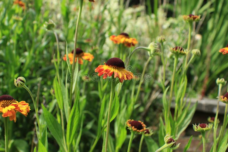 Englische Land-Gartenblumen lizenzfreies stockbild