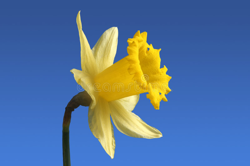 Englische Narzissenblume. stockbilder