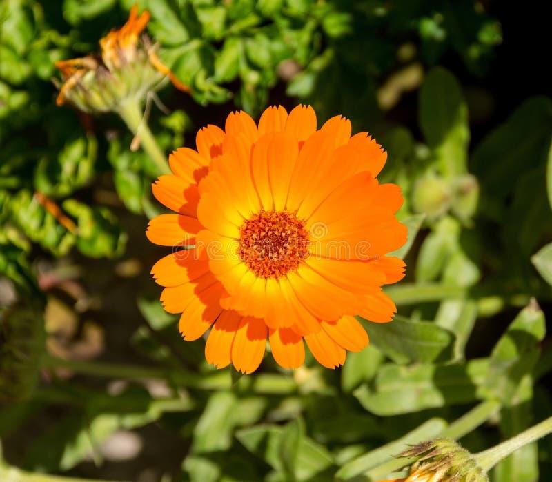 Englische Ringelblume stockbilder