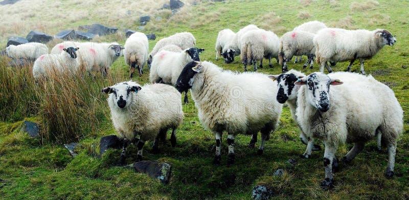 Englische Schafe stockfotografie