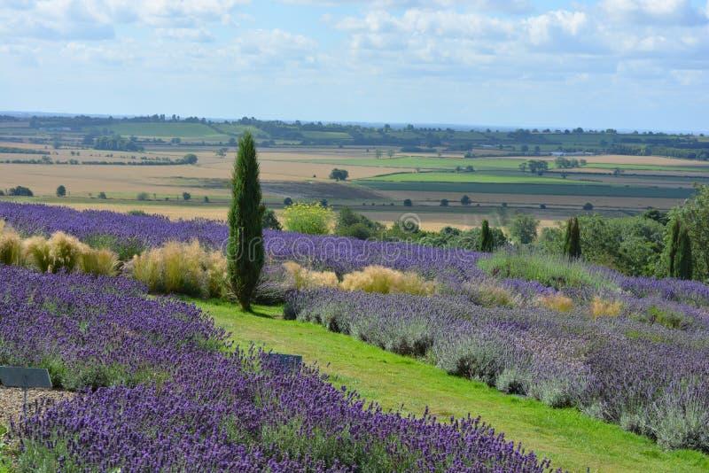 Englische Sommerlandschaft mit Lavendel und dem Tal von York, Großbritannien lizenzfreies stockfoto