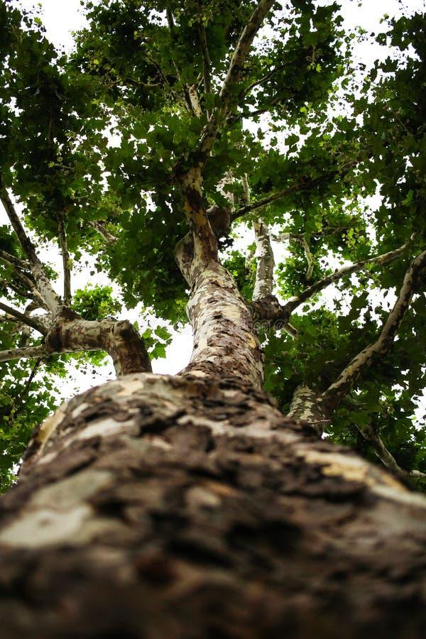 Englischer Ahornbaum von unterhalb lizenzfreies stockbild