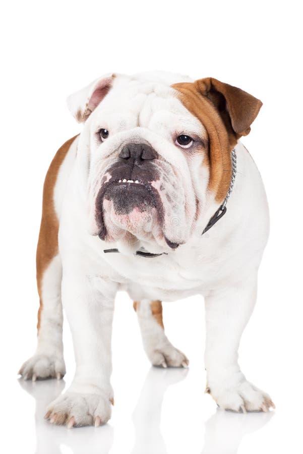 Englischer Bulldoggenhund auf Weiß lizenzfreies stockfoto
