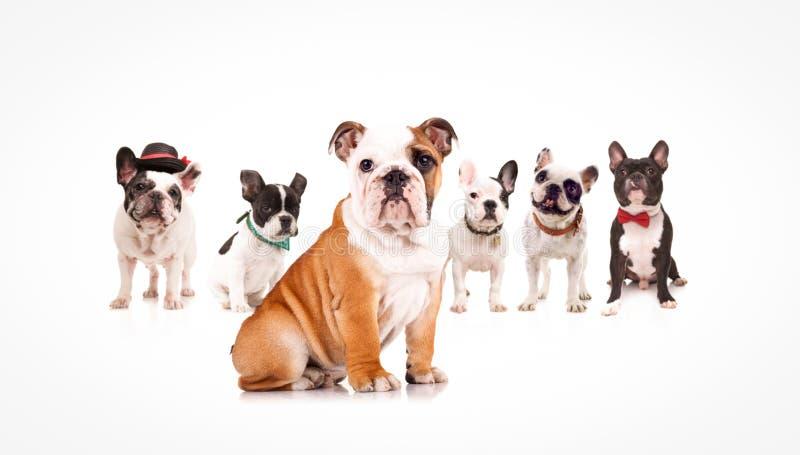 Englischer Bulldoggenwelpe, der ein Team von französischen Bulldoggen führt lizenzfreie stockbilder