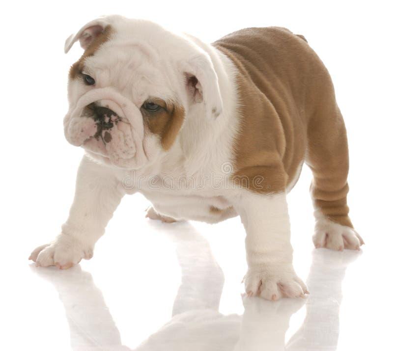 Download Englischer Bulldoggewelpe stockbild. Bild von wachstum - 12203137