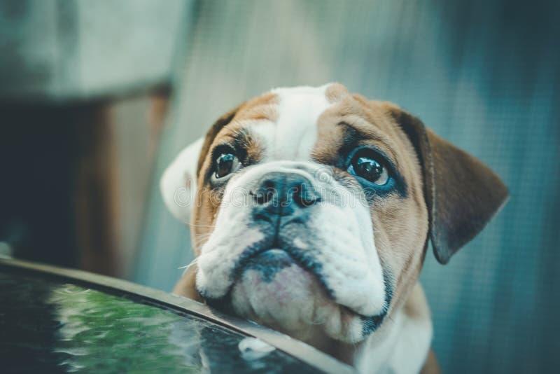 Englischer Bulldoggewelpe stockbild