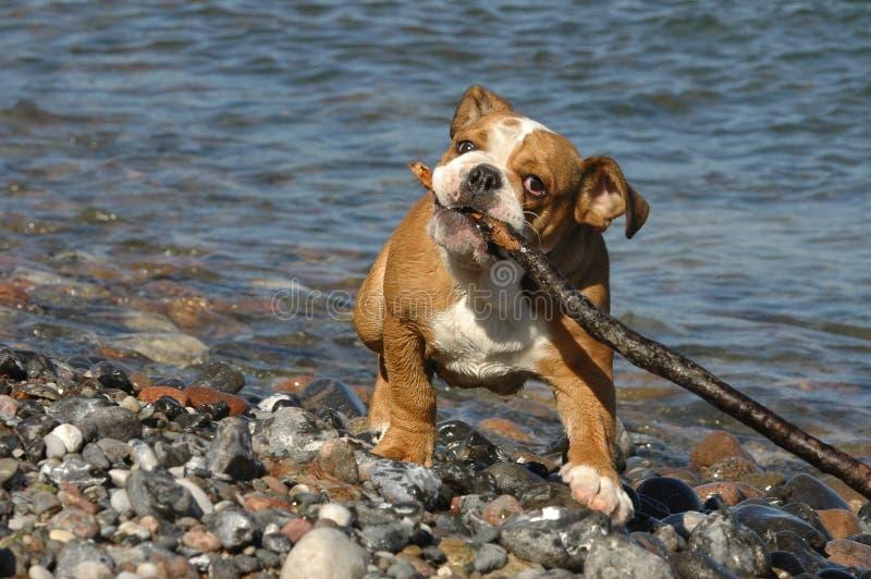 Englischer Bulldoggewelpe, der auf dem Strand spielt stockbild