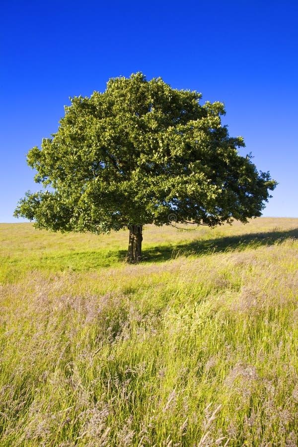 Englischer Eichen-Baum stockfoto