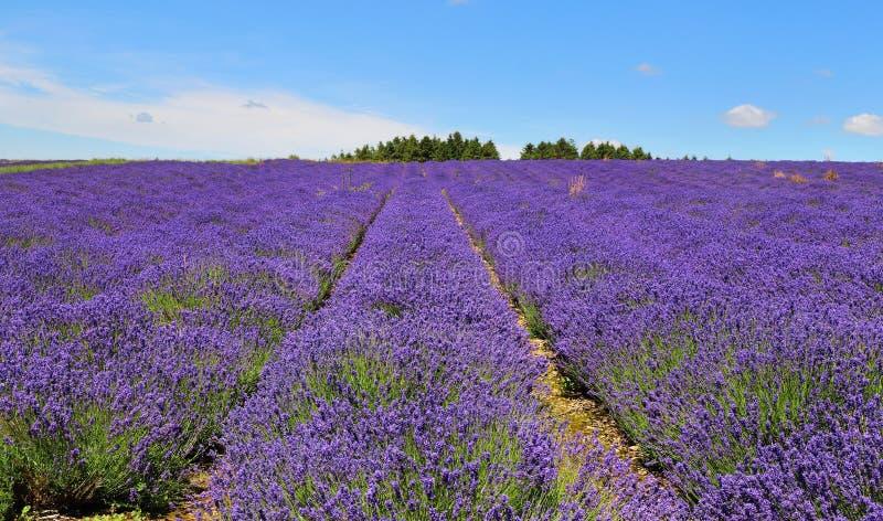 Englischer Lavendel-Felder lizenzfreies stockbild