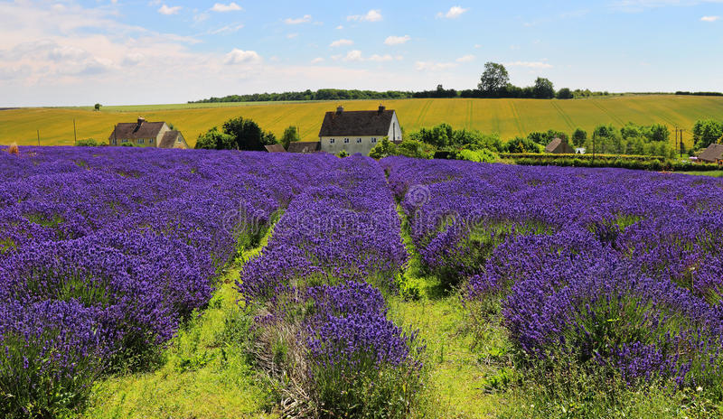 Englischer Lavendel-Felder stockbild