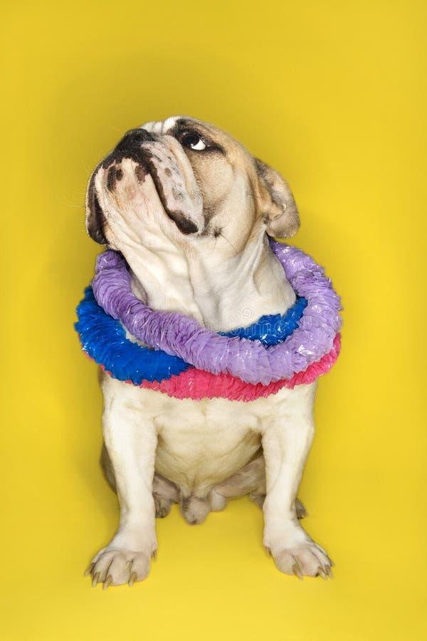 Englisches Bulldoggetragen Leu. stockbilder