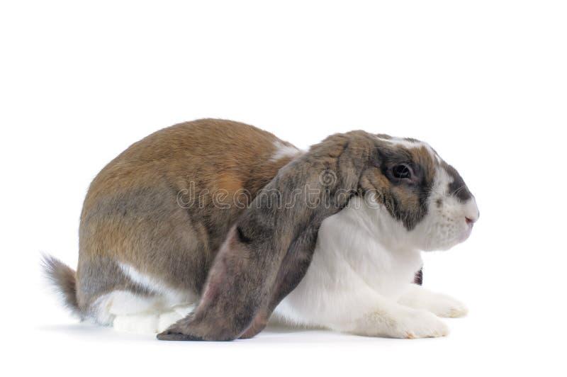 Englisches Schmierölniederdruck-Kaninchen lizenzfreie stockfotografie
