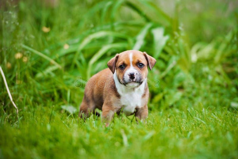 Englischstaffordshire-Bullterrierwelpe lizenzfreie stockbilder
