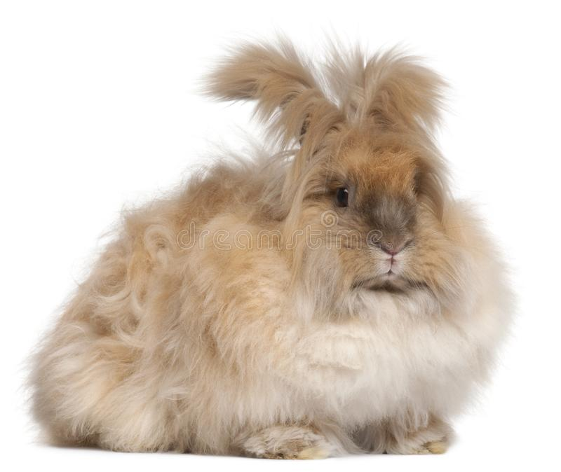 English Angora rabbit in front of white background. Isolated on white royalty free stock images