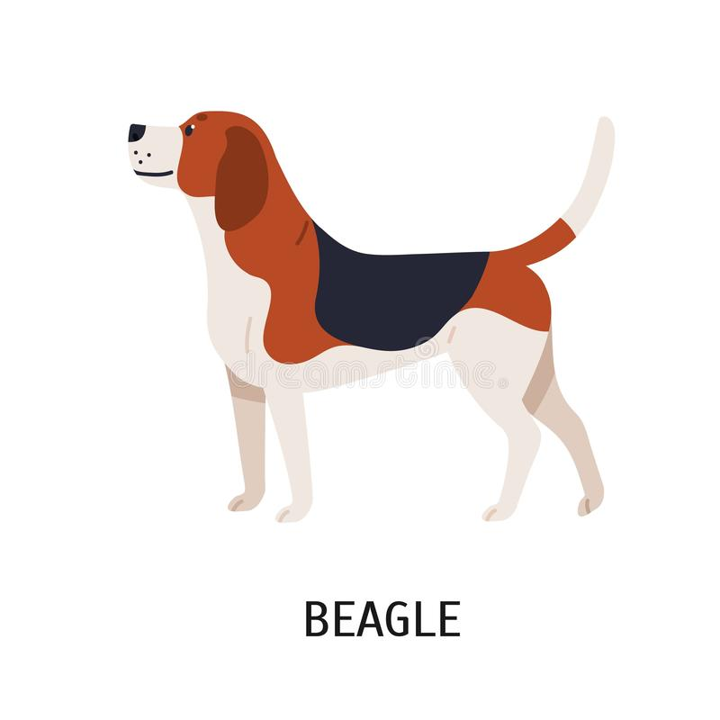 English Beagle. Lovely hunting dog or scenthound with tricolored coat isolated on white background. Gorgeous purebred royalty free illustration