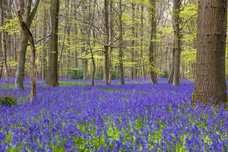 Bluebell Woods in Flower stock images