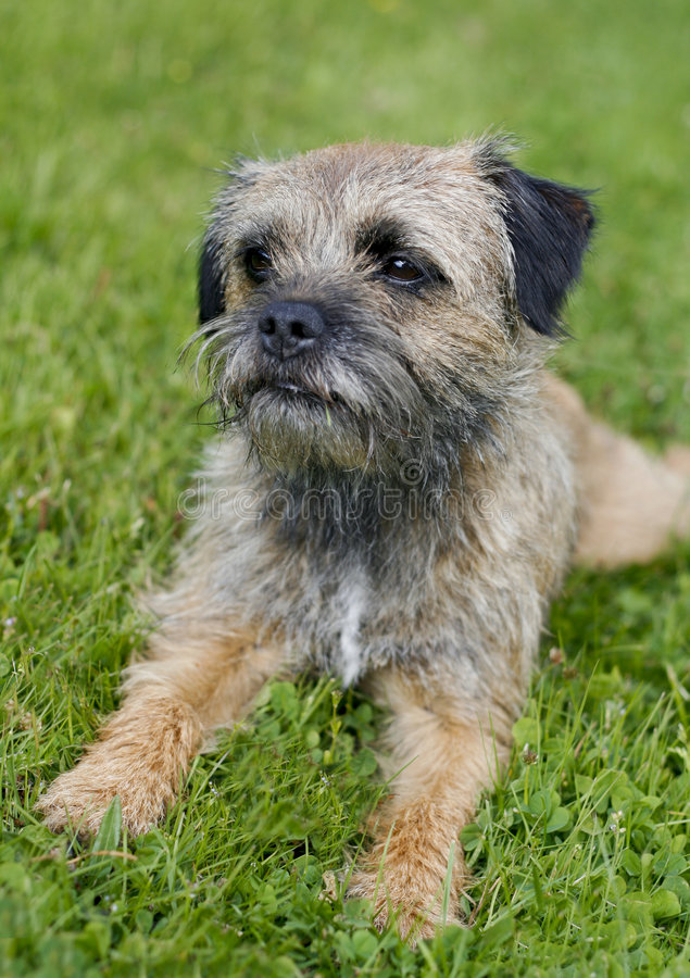 English border terrier. Relaxing in the grass on a summer day stock photography
