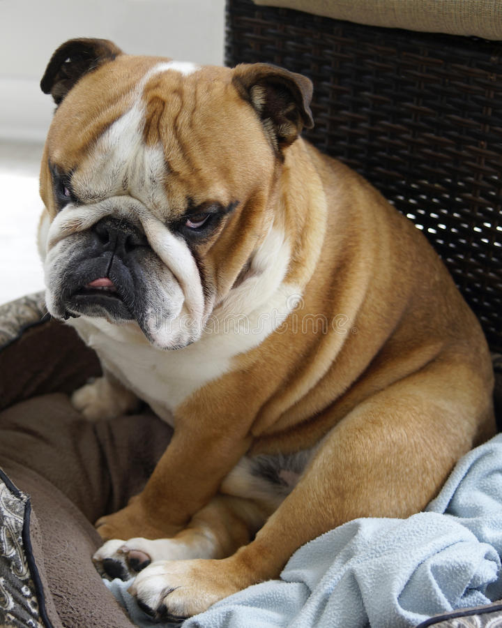 English Bull Dog with Character. An English Bull Dog with attitude sits in his bed royalty free stock photo