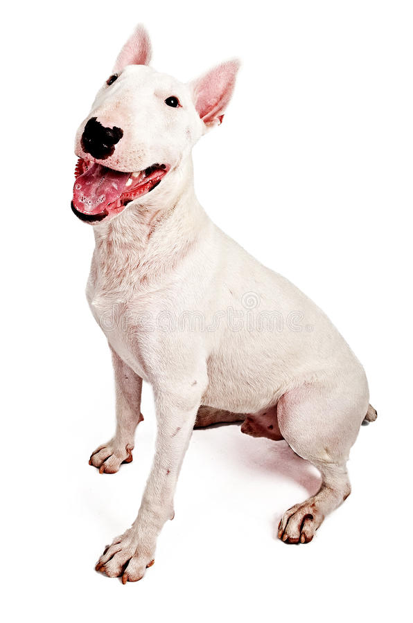 English Bull Terrier royalty free stock photography