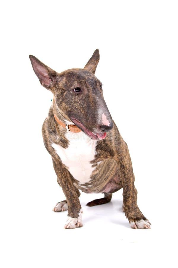 English Bull Terrier stock image