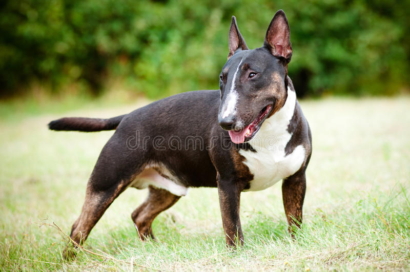 English bull terrier dog portrait royalty free stock images