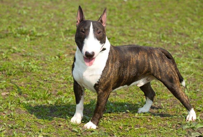 English bull terrier stock photography