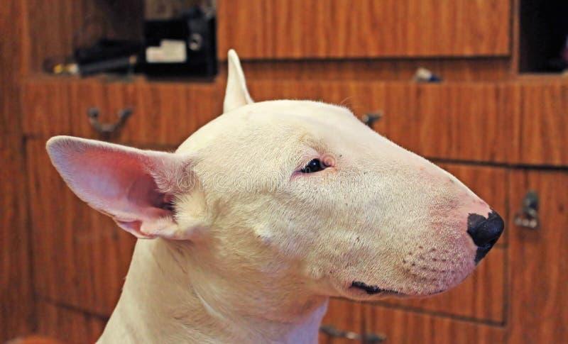 English bull Terrier royalty free stock photo