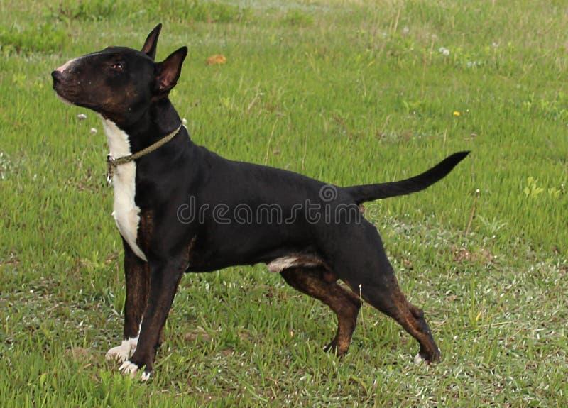 English Bull Terrier stock photo