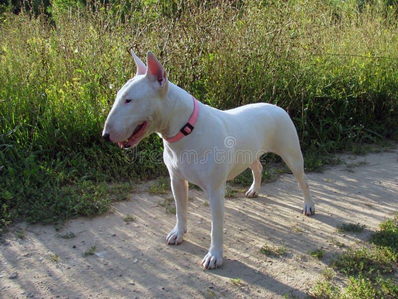 English bull Terrier walks outdoors stock photo