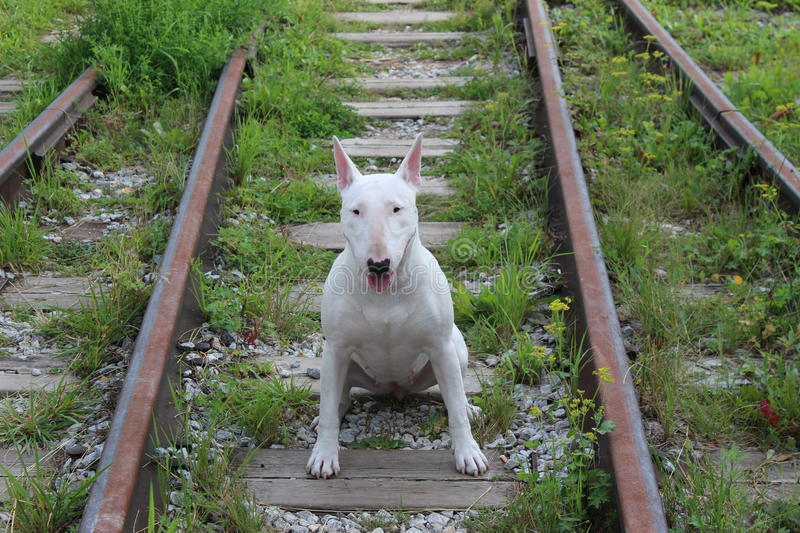 English bull Terrier. Walks outdoors in the summer royalty free stock photography