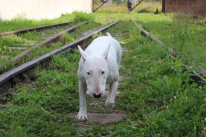 English bull Terrier. Walks outdoors in the summer stock images