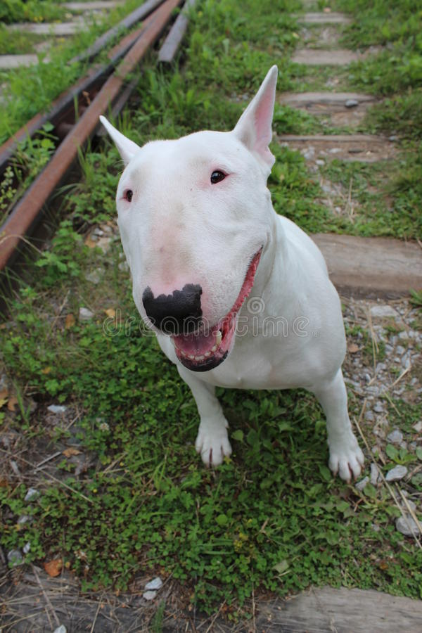 English bull Terrier. Walks outdoors in the summer stock image
