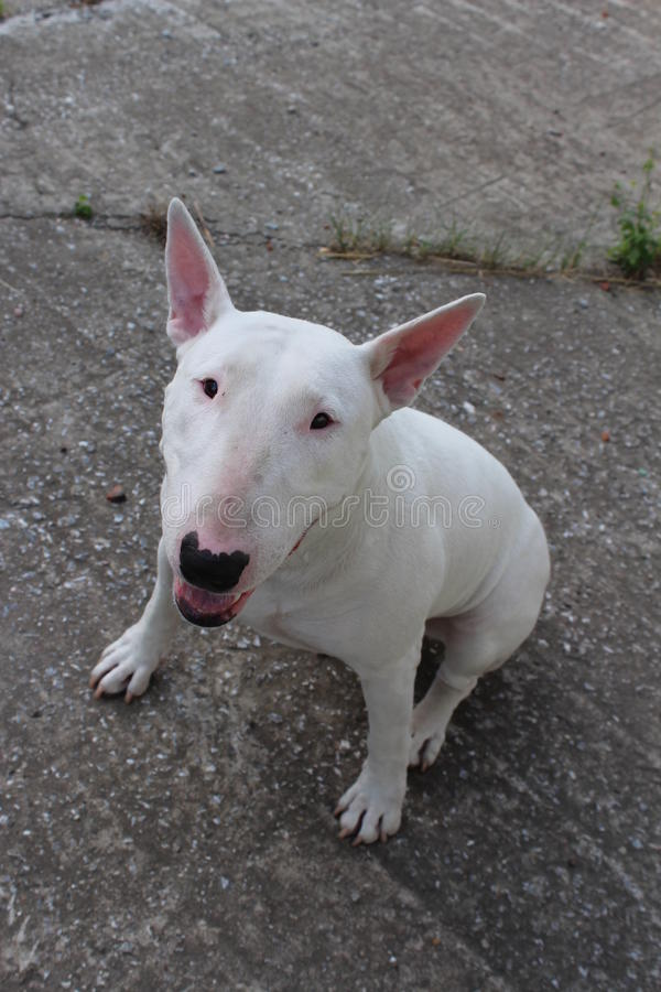 English bull Terrier. Walks outdoors in the summer royalty free stock photos