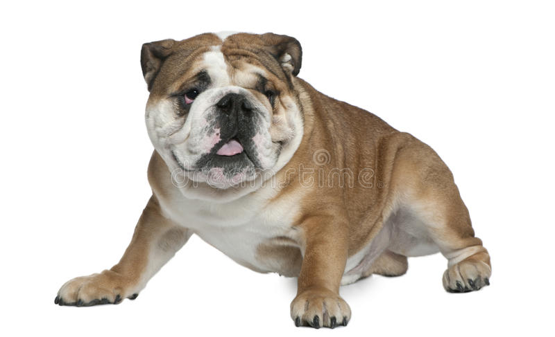 Download English Bulldog, 1 And A Half Years Old, Sitting Stock Photo - Image: 23088022