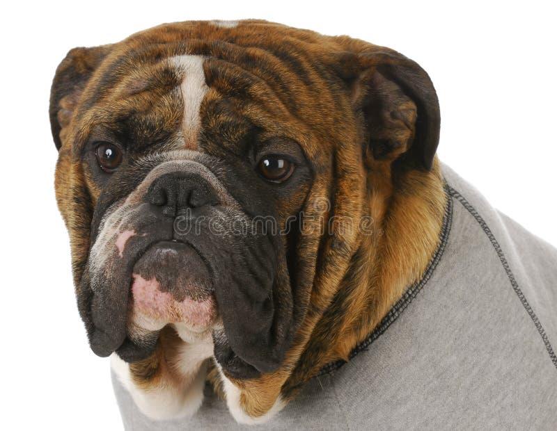 Download English bulldog stock photo. Image of cute, adorable - 15790022