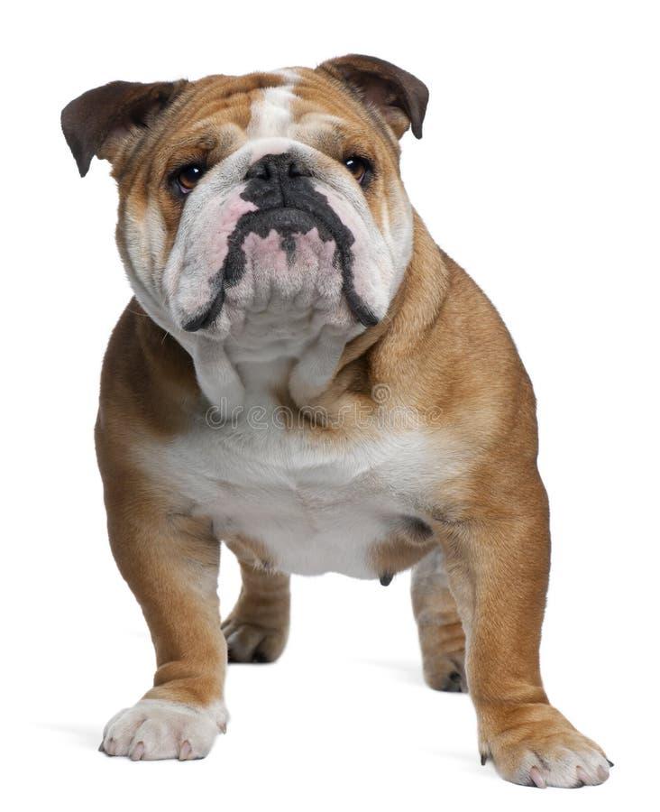 English Bulldog, 18 months old, standing royalty free stock photos