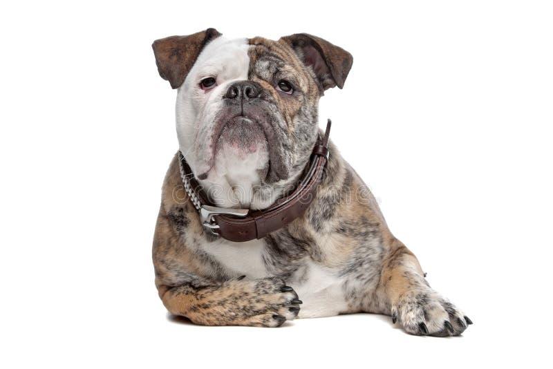 Download English Bulldog Stock Photo - Image: 18681540