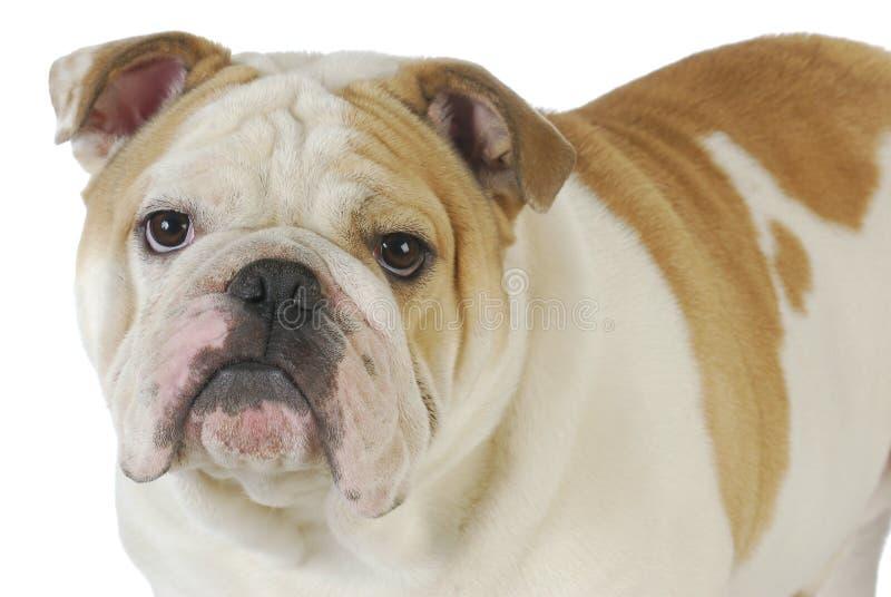 Download English bulldog stock image. Image of close, nine, coat - 26208995