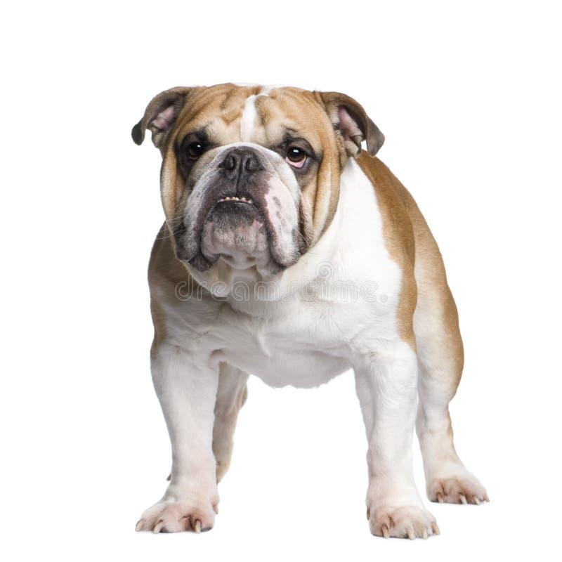 English Bulldog (3 years) stock photography