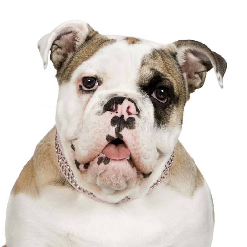 English Bulldog (5 months) stock photos